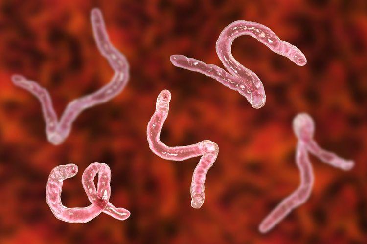 Hookworm atau cacing tambang