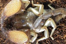 Kalajengking Baru Ditemukan, Ilmuwan Ungkap Keberagaman Spesies di Somalia