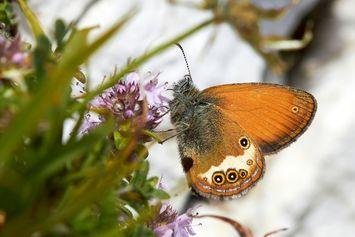 Kenapa Sayap Kupu-kupu Lebih Besar dari Badan? Ahli Temukan Jawabannya