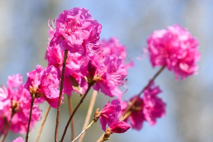 Ilustrasi bunga azalea