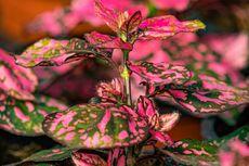 6 Tanaman Hias Berdaun Pink yang Cocok Jadi Dekorasi Ruangan