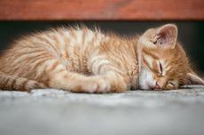 Apa yang Diimpikan oleh Kucing Saat Tidur?