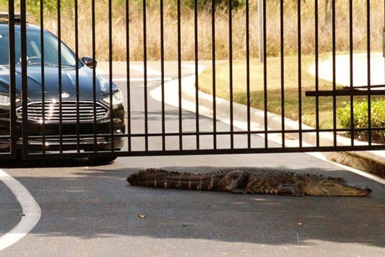 Seekor buaya terklihat berada di dekat sebuah sekolah dasar di kota Apopka, Florida, AS.