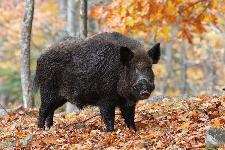 Babi hutan.