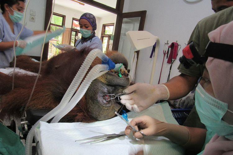 Foto dokumentasi YEL - SOCP,  tim medis di pusat Karantina Sibolangit sedang malakukan penanganan terhadap induk orangutann  yang dievakuasi di Subulussalam, Aceh,  Rabu (13/03/2019).