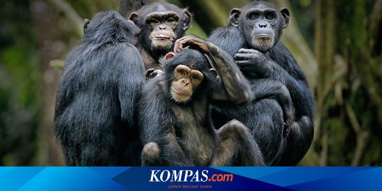 Kamasutra Satwa: Simpanse Jantan Tak Segan Lakukan