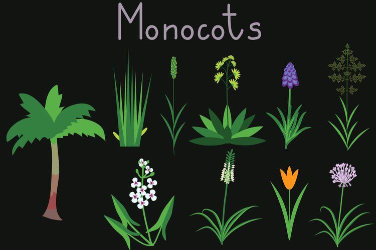 Ilustrasi Tumbuhan Monokotil