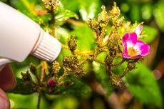 Cara Membuat Pestisida Nabati dari Tembakau dan Bawang Putih