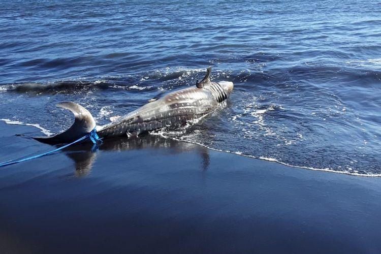 Ikan hiu yang terdampar mati di pantai selatan Desa Kepanjen Kecamatan Gumukmas Kamis (22/4/2021)