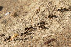 Semut: Kolaborasi, Pajak, dan Tauladan Manusia
