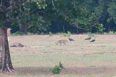 Klarifikasi Ahli soal Hewan Diduga Harimau Jawa yang Tertangkap Kamera