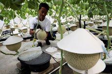 Musik dan Pijat, Rahasia Petani Malaysia Berhasil Budidayakan Melon Jepang