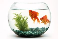 Penyebab Ikan Hias Sering Mati dan Cara Mengatasinya