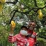 Taman Buah Mekarsari Buka Lagi, Keliling Kebun Pakai Mobil Sendiri