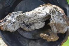 Serigala Zaman Es Ditemukan, Berumur 57.000 Tahun dan Masih Utuh