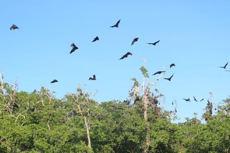 Kawanan kelalawar terbang di atas Pulau Kelalawar di Taman Laut 17 Pulau Riung, Flores, NTT.
