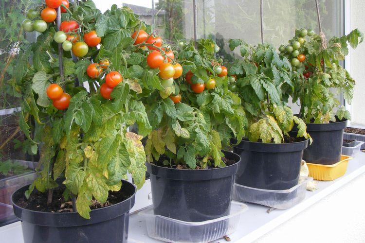 Ilustrasi menanam sayuran di pot.
