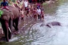 Gajah Hamil Mati Setelah Makan Nanas Isi Petasan, Ini Janji India