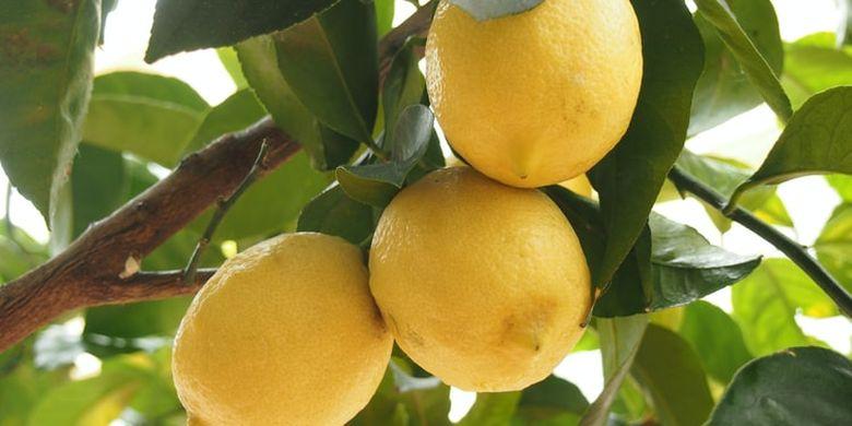 5 Tips Mudah Menanam Lemon dari Biji