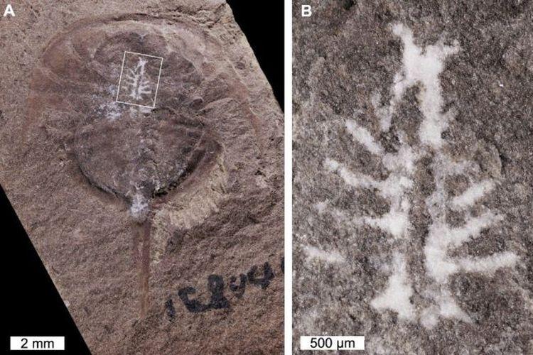 Ahli temukan fosil otak kepiting tapal kuda Euproops danae berusia 310 juta tahun. Alam membantu fosil ini terawetkan dengan sempurna selama ratusan juta tahun.