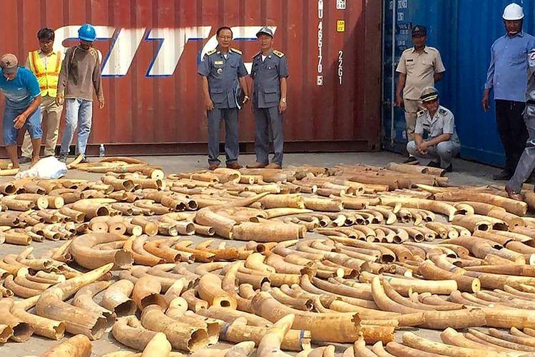 Petugas memeriksa ribuan potong gading gajah yang ditemukan dalam sebuah kontainer di pelabuhan di Phnom Penh, Kamboja.