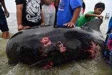 52 Ekor Paus Terdampar di Madura, BKSDA: Ini Fenomena Langka