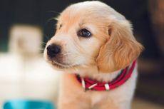 Cara Menghilangkan Bau Urine Anjing yang Menempel di Karpet