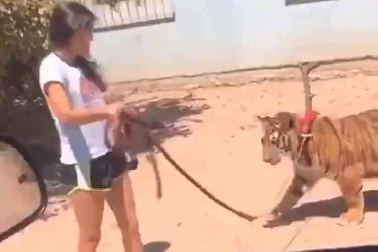 Tangkapan layar dari video gadis cilik yang jalan-jalan bareng harimau Benggala di Meksiko.