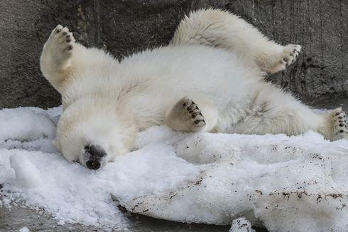 Hadapi Suhu Panas, Kebun Binatang di Rusia Beri Makan Hewannya Es Krim