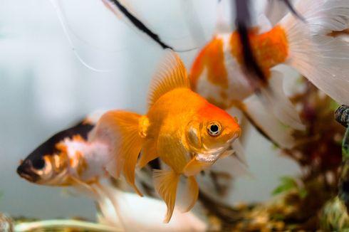 Kelas di SD Jepang Ajarkan Siswa Berhubungan dengan Ikan Sebelum Putuskan Nasibnya