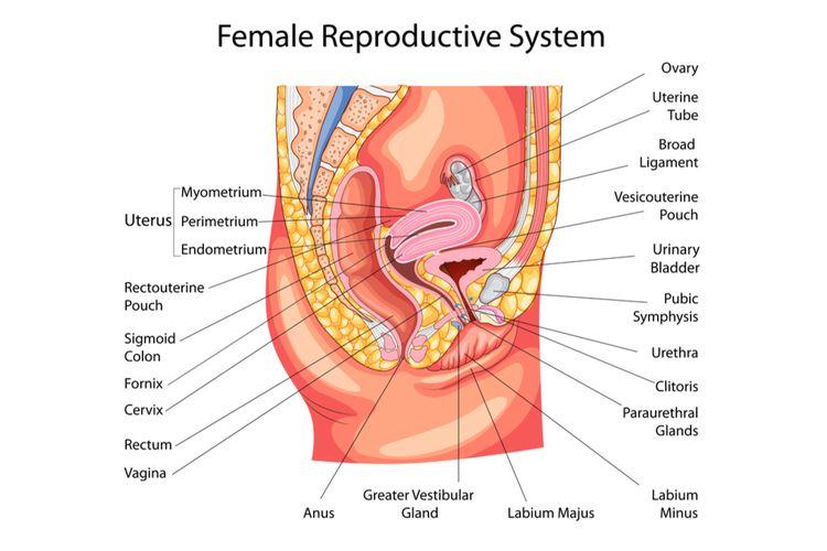 Mengenal Alat Reproduksi Wanita Halaman All Kompas Com