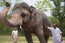 Kaavan Gajah Paling Kesepian di Dunia Akhirnya Punya Teman Setelah 8 Tahun