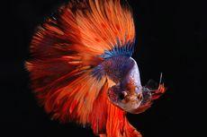 Ikan Cupang Tidak Mau Ngedok? Ini Penyebab dan Solusinya