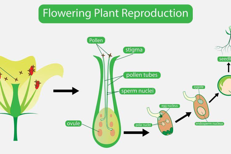 ilustrasi reproduksi tumbuhan