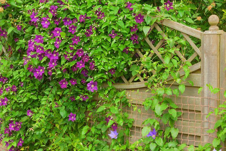 Ilustrasi tanaman Clematis merambat di pagar tanaman.