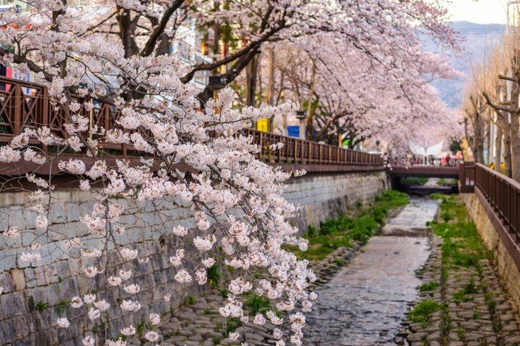 Sakura bermekaran saat musim semi di Jinhae, Korea Selatan.