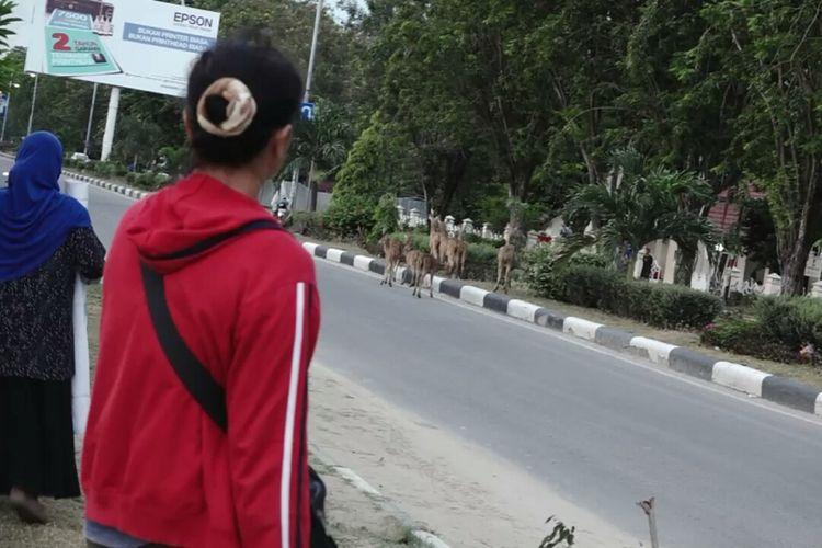 Kawanan rusa berkeliaran di Jalan Raya Kota Palu, Sulawesi Tengah. Selasa, (9/10/2018).