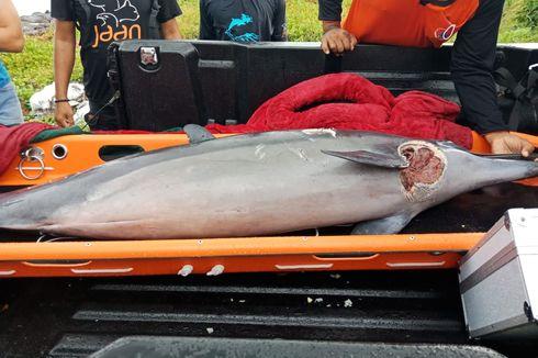 13 Ekor Lumba-lumba Terdampar di Perairan Klungkung Bali, Satu Ditemukan Mati