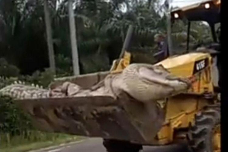 Buaya raksasa yang mati setelah dijerat warga di Desa Kayu Besi, Bangka.