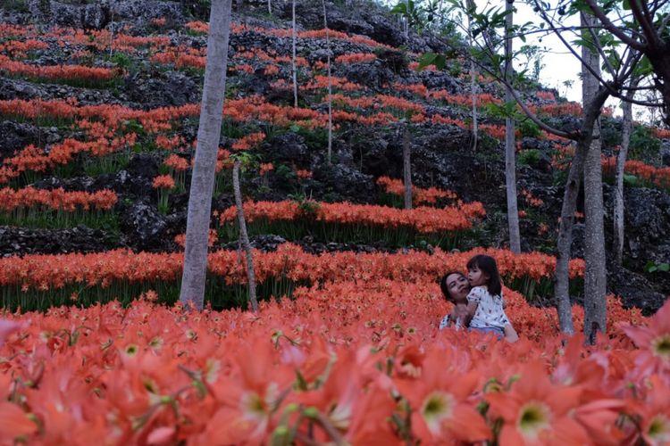 Kawasan Kebun Bunga Amarilis di Kawasan Desa Kemadang, Kecamatan Tanjungsari, Gunungkidul