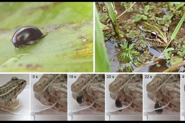 Gambar menunjukkan kumbang air mampu meloloskan diri dan keluar melalui anus setelah dimakan katak.