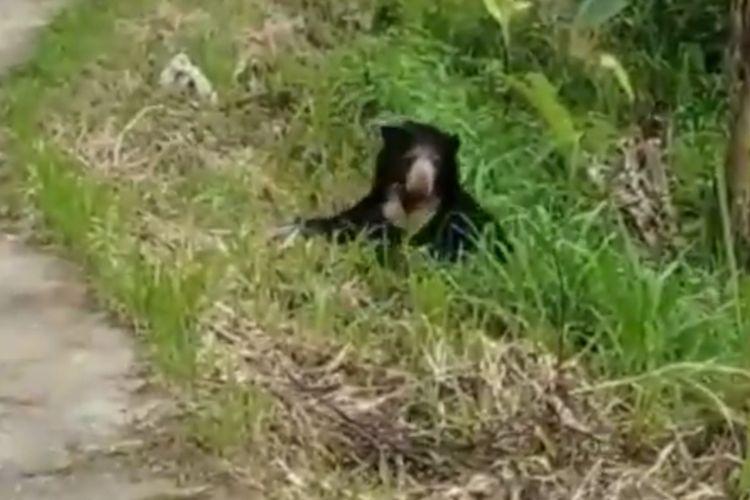 Seekor beruang madu hendak menyeberangi jalan raya Kelok 44 di Agam, Sumatera Barat