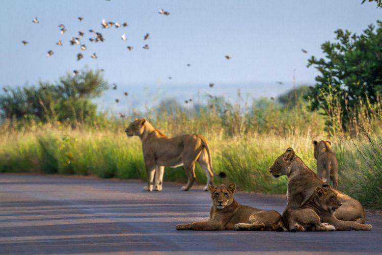 Ilustrasi singa Afrika di Taman Nasional Kruger.