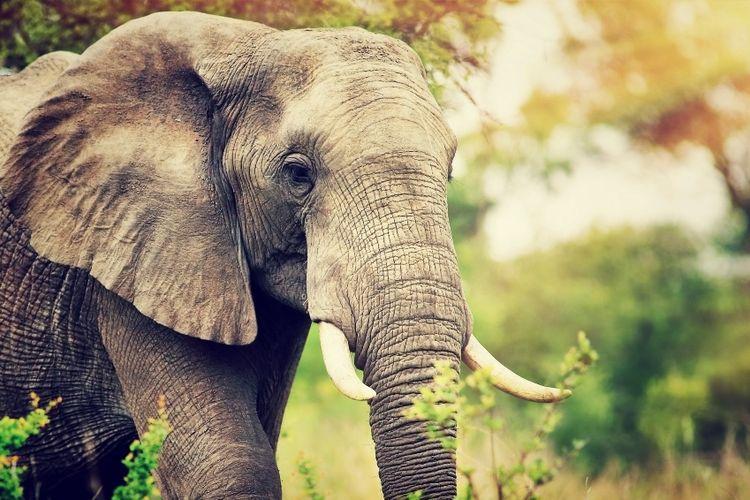 Ilustrasi seekor gajah.