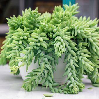 Ilustrasi tanaman Donkey's Tail, Burro's Tail, atau kaktus anggur.
