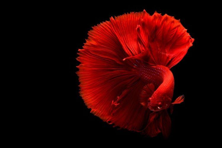 Sering kali warna ikan cupang jantan lebih cerah daripada ikan cupang betina.