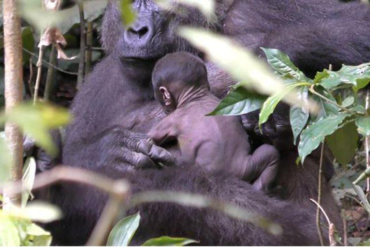 Bayi gorila berusia kurang seminggu ini terekam kamera para peneliti WCS Congo.