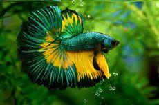Kenapa Ikan Cupang Mengeluarkan Gelembung?