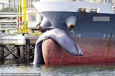 Bangkai Paus Sepanjang 9,75 Meter Tersangkut di Haluan Kapal Tanker