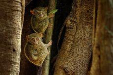 Dikenal sebagai Primata Setia, Tarsius Juga Bisa Poligami